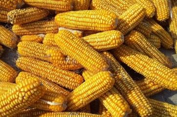 A megnövekedett kereslet miatt drágult a búza és a kukorica - A cikkhez tartozó kép
