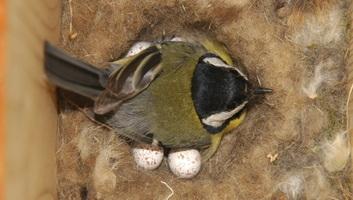 Éhen halhatnak a madárfiókák a klímaváltozás miatt - illusztráció