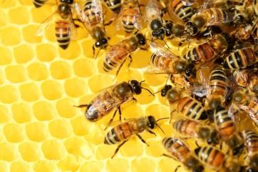 Elkészült a világ 20 ezer méhfajának globális térképe - A cikkhez tartozó kép