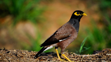 Meghatározták az Európából száműzendő invazív fajok listáját - illusztráció