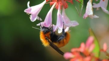A méhfajok negyedét nem látták a 90-es évek óta - A cikkhez tartozó kép