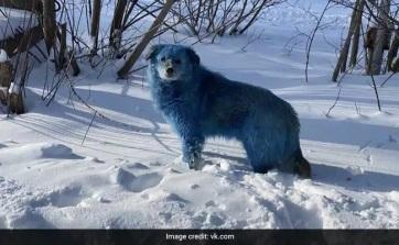 Színes kutyák rejtélye foglalkoztatja az orosz hatóságokat - A cikkhez tartozó kép