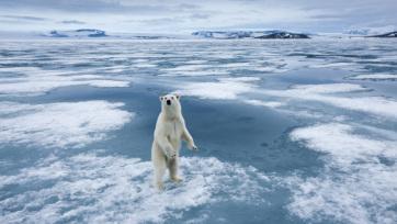 Az északi-sarkvidéki jégveszteség miatt jóval nagyobb energiára van szükségük az állatoknak - A cikkhez tartozó kép