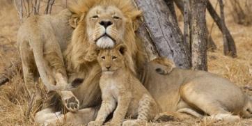 Dél-Afrika szerint le kell állítani az oroszlánok háziasítását, ezért betiltanák a fogságban tenyésztést - A cikkhez tartozó kép