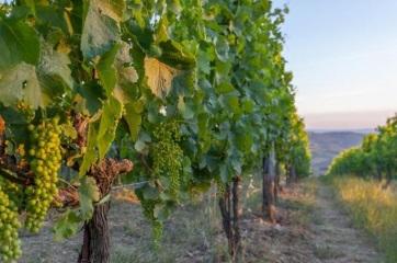 Hamarosan kedvező hitelek a szőlészeknek és borászoknak - A cikkhez tartozó kép