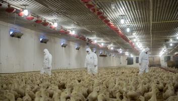 Erdélyben is megjelent a madárinfluenza, 180 ezer szárnyast ölnek le - illusztráció