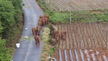 Igyekeznek lakott területen kívül tartani a Kínában vándorló elefántcsordát - A cikkhez tartozó kép