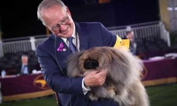 Egy pekingi palotakutya nyerte el a fődíjat a legrangosabb amerikai kutyakiállításon - A cikkhez tartozó kép