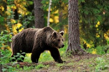 A román kormány elfogadta a veszélyes medvék eltávolítását szabályozó rendeletet - A cikkhez tartozó kép