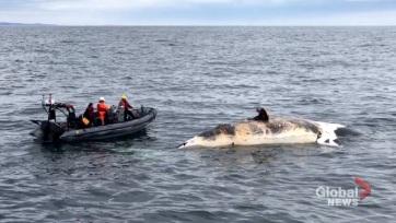 Súlyos fenyegetést jelentenek az északi simabálnákra a sebességhatárt túllépő hajók - A cikkhez tartozó kép