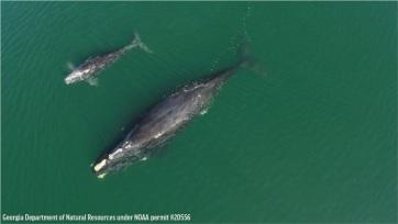 Az Atlanti-óceán melegedése a kihalás felé sodorja az északi simabálnákat - A cikkhez tartozó kép