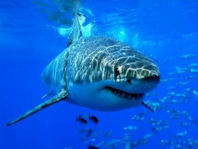 Veszélyben a Földközi-tenger cápa- és rájafajai