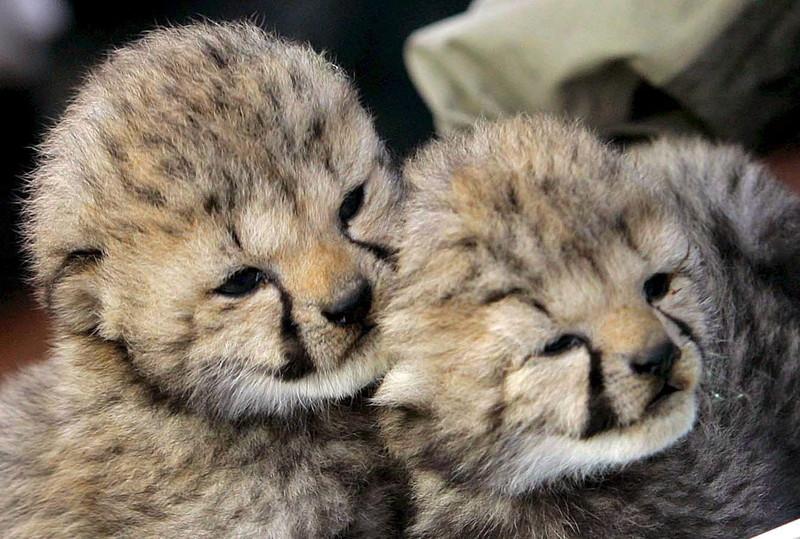 Kihalás fenyegeti a világ leggorsabb állatát: Még hétezer gepárd van