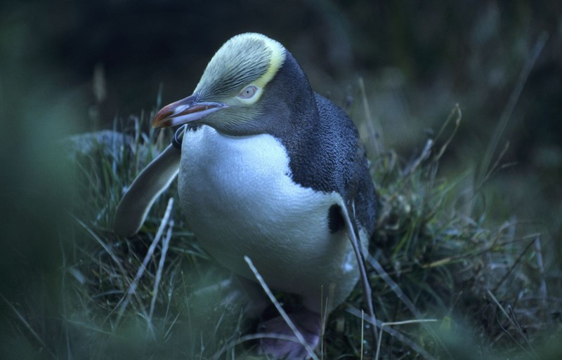 Új-Zéland egyedülálló vadvilágát fenyegeti a globális felmelegedés