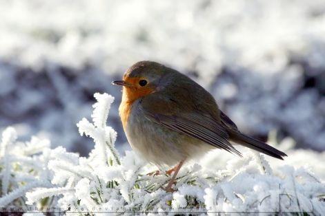 Óbecse: Akció az élelem nélkül maradt madarakért