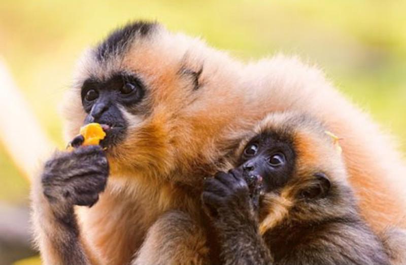 Az emberszabású majmok nagy részét kihalás fenyegeti