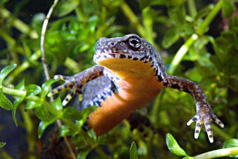 Védtelenek  a szalamandrák a pusztító kórral szemben