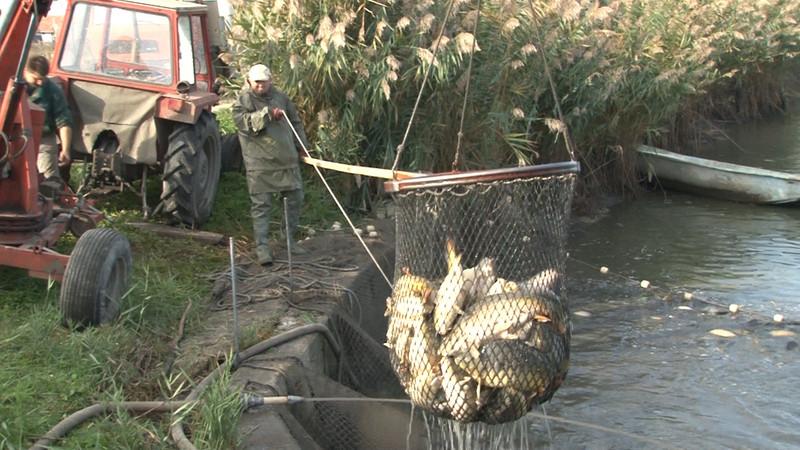 Velebit: Megkezdték a téli lehalászást a Kapitány-rét Halgazdaság halastaván